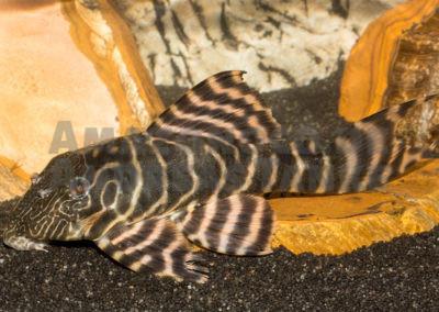 Panaqolus sp. (L 482), Rio Ipixuna