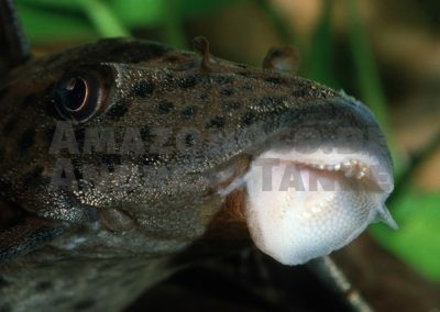 Wood Eaters – the loricariids of the genera Panaqolus, Panaque and Cochliodon