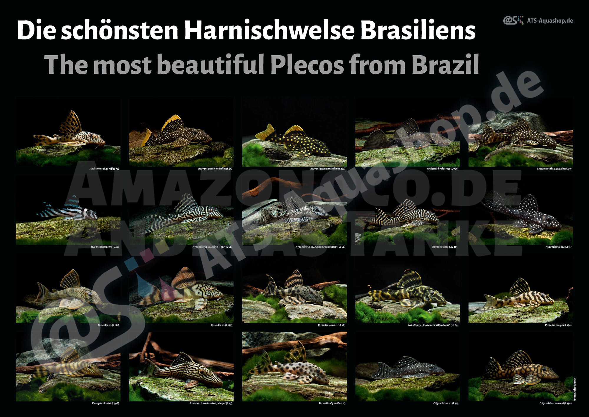 Poster: Brazils most beautiful plecos