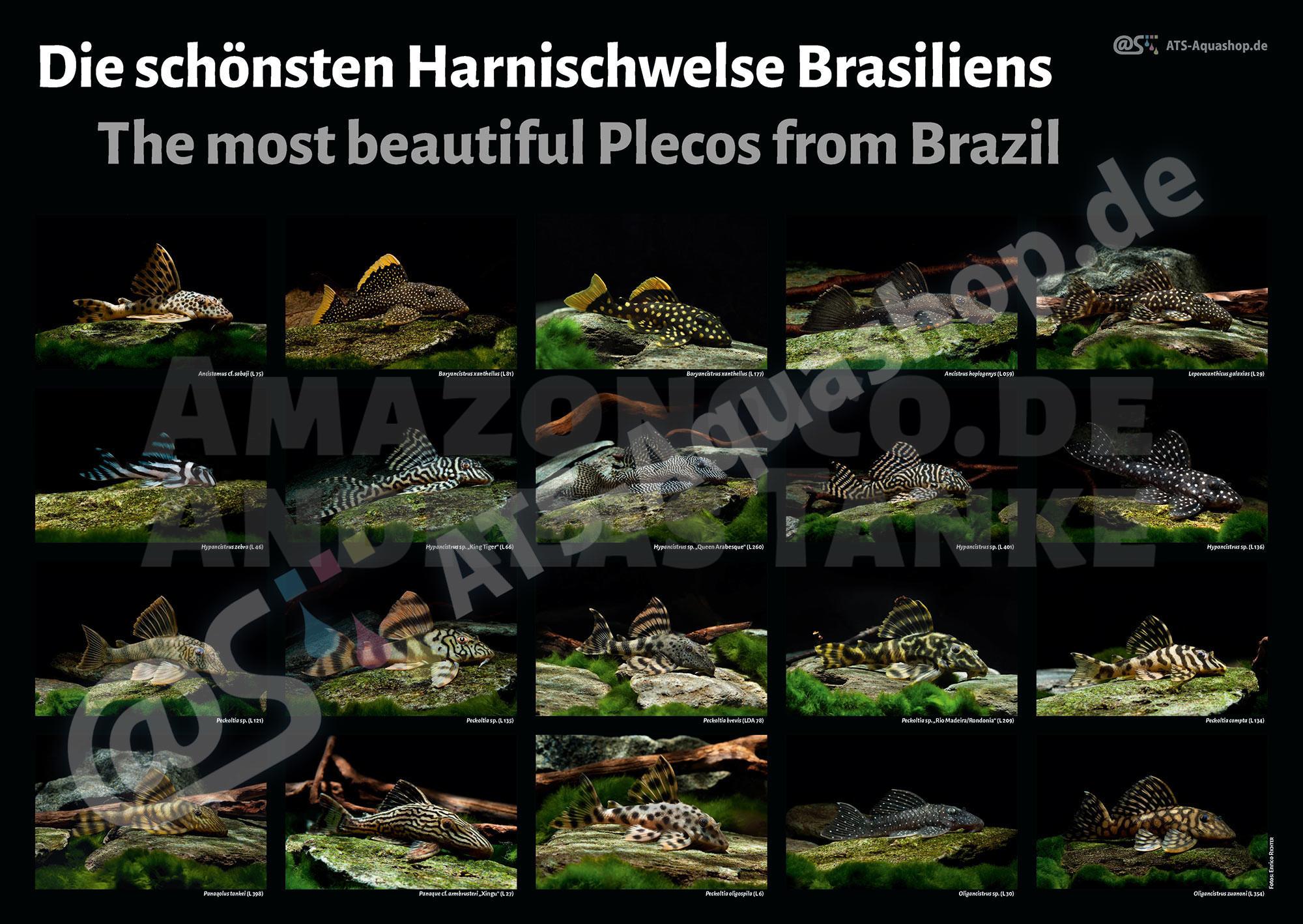 Poster: Brazils most beautiful plecos